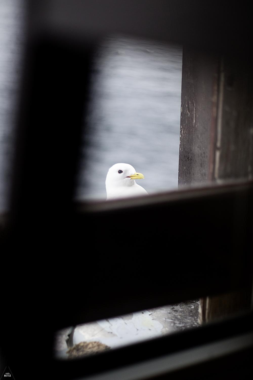 Norway-Aalesund-Seagull-Antik-Galleri-Studio-Metsa-Photography